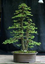 Redwood Seeds Sequoia sempervirens Bonsai TALLEST in the WORLD