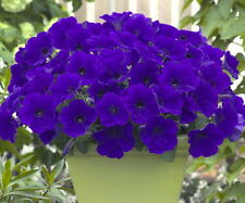TRAILING PETUNIA BLUE (1000 SEEDS)