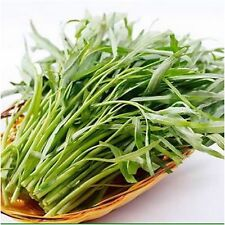 WATER SPINACH, Kangkong, River Spinach, Chinese Spinach or Watercress - 50 Seeds