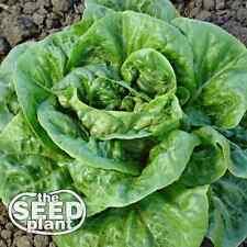 Bibb Lettuce Seeds - 1,000 SEEDS NON-GMO