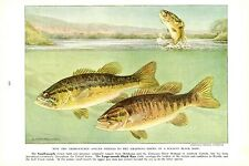 Vintage Scarce Hashime Murayama Fish Print ~ Smallmouth and Largemouth Bass ~