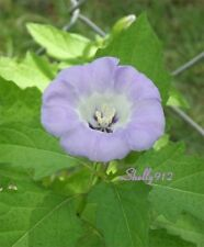 Apple Of Peru - Shoo Fly - 20 seeds - EASY and fast growing! Nicandra physalodes