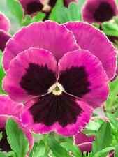 Un 20 Extra Grande floreció pensamiento Semillas XXL H Rosa con mancha de la memoria caché de ojos colores