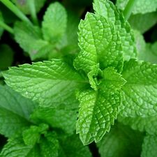 1,000 MINT SEEDS COMMON SPEARMINT Mentha spicata Great Herb for Tea/Cocktails