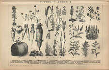 Lithografie 1902: Futterpflanzen I/II. Topinambur Mohar Klee Hafer Gras Ginster