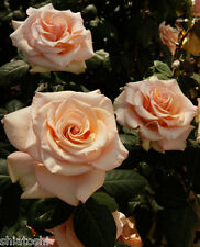 """Live Rose """"Marilyn Monroe""""  6 """" height grafted live plant, S-1102"""