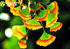 5 PCS Rare Rainbow Ginkgo Seeds Perennial Flowers Seeds Beautiful Potted Plant S