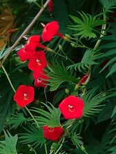 MORNING GLORY RED - CYPRESS VINE  - Ipomoea quamoclit - 70 seeds CLIMBING FLOWER