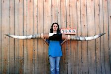 "STEER LONG HORNS MOUNTED 8' 0"" COW BULL SKULL TAXIDERMY LONGHORN LH1665"