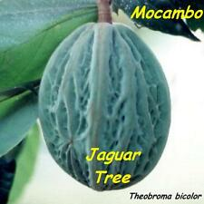 ~MACOMBO~ Theobroma bicolor WHITE CACAO TREE the JAGUAR TREE LIVE RARE PLANT