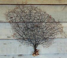 """BF2) Natural, Large BLACK SEA FAN 22"""" X 20"""" Seafan Gorgonian Soft Coral in USA"""