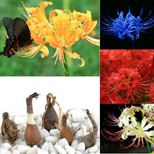 5X Bana Seeds Bulbs Lycoris Radiata, Spider lily, Lycoris Bulb Seed Random Color