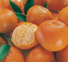 Cold-hardy - Sweet Mandarin Orange Tree ( Citrus reticulata ) 25+ fresh seeds