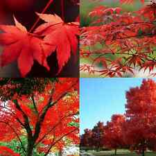 10PCS JAPANESE MAPLE TREE Acer Palmatum Red Maple Seeds EASY TO PLANT CN
