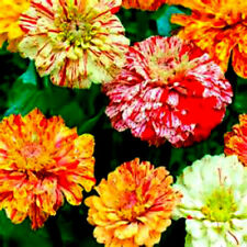 Mix of Candy Cane & Candy Stripe Zinnia Seeds! 4 FT TALL! 25 Seeds! Comb.S/H!
