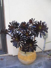 "TWO (2 ) 5"" Cuttings Black Rose Aeonium arboreum SCHWARZKOPF Succulent"