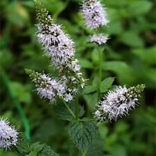 Peppermint - Herb -  (Mentha Piperita) - 100 seeds