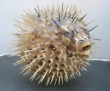 "Puffer Fish Large 8"" long Taxidermy Blowfish Spiny Porcupine"
