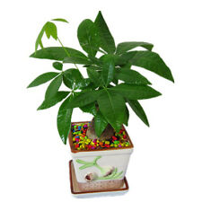 New Pachira Money Tree Plant Seeds Awesome Bonsai Home Garden 1PCS