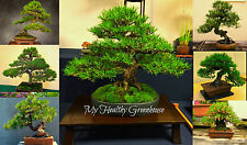 SEEDS - Japanese Black Pine Bonsai Tree – Easy to Grow and Maintain!