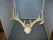Eight Point Kansas Whitetail Deer Harvested Skull With Antlers