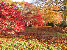 """NEW ACER PALMATUM """" ELEGANS"""" Special offer 50 seeds of this wonderful acer"""