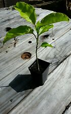 Golden Yellow Passion Fruit Passiflora Edulis Flavicarpa 1 Live Vine Plant