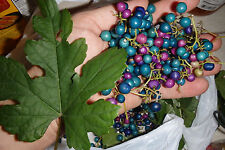 Porcelaine grape vine live plant, Ampelopsis hardy liana blue rare berries