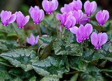 IVY-LEAVED HARDY CYCLAMEN hederifolium neapolitanum * LATE WINTER BLOOMS * SEEDS