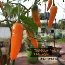 RARE✿ Thai Golden Yellow Hot Chilli Pepper 15 Seeds ●Bright Color