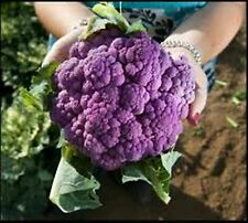 20 Seeds - Purple Cabbage Cauliflower Brassica oleracea Seeds