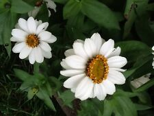 Seeds - Beautiful Flowers!! -75- White Zinnia Profusion Seeds