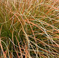 Carex testacea (Prairie Fire) -  3 Evergreen Ornamental Grass Plants in 9cm pots