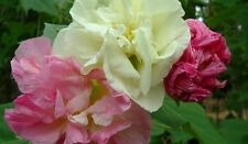 Confederate Rose Hibiscus (Double) Cotton Rose Perennial Flower Garden 20 Seeds