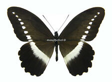 Unmounted Butterfly/Papilionidae - Papilio sjoestedti atavus, male, Tanzania, A-