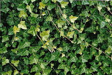 "Hirt's Baltic English Ivy 48 Plants - Hardy Groundcover - 2 1/4"" Pot"