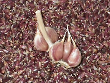 ONTARIO PURPLE TRILLIUM Heirloom Serpent Garlic Bulbils 50 RARE SEEDS Rocambole