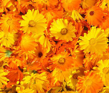CALENDULA PACIFIC BEAUTY Calendula Officinalis - 2,500 Bulk Seeds