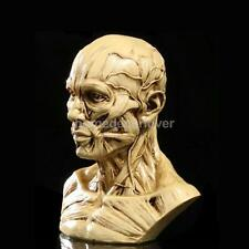 Resin Human Model Anatomy Skull Head Muscle Drawing School Antique Yellow