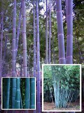 Blue Bambus Samen / Die Deko Dekoidee für eine Feier Party das Bad WC ein Fest