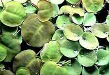 1 Portion Wasserwolfsmilch, 20 Stk Phyllanthus fluitans