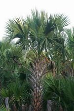 Sabal mexicana - Texas Palmetto - Very Hardy Palm - 10 Fresh Seeds