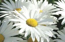 "250 Seeds Chrysanthemum Max Alaska Daisy 3"" Blooms Flower Seeds"