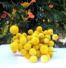 500 Graines Craspedia globosa 'Drumstick' Billy Balls, Billy Buttons seeds
