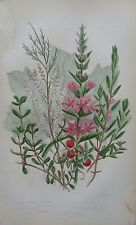 Antique Botanical Print Purple Loosestrife Water Purslane Anne Pratt 1860s