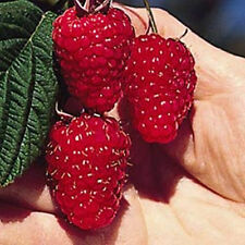British Columbia Tulameen Raspberry Seeds - Gigantic Fruit - GMO FREE - 50 Seeds