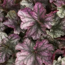 HEUCHERA[CORAL BELLS]BLACKBERRY ICE 2 YEAR OLD PLANT NEW FOR 2014