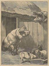 A3972 Maiali - Incisione - Stampa Antica del 1889
