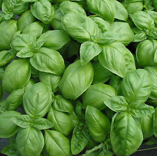 GENOVESE BASIL SEEDS * INTENSELY SCENTED * CUISINE * 100 COUNT PKT. *