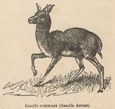 C8597 Gazella dorcas - Stampa antica - 1892 Engraving